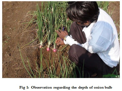 Depth of Onion bulb
